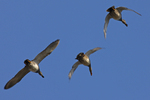 Gadwalls call out as they fly over.  754 drive 6