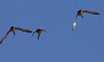 Gadwalls call out as they fly over.  755 drive 6