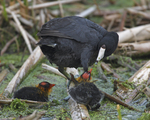 A Coot feeds a bug to one of its chicks.  4089 drive 6