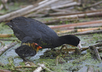 A Coot finds food as its chick waits patiently nearby.  4100 drive 6