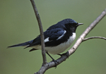 A Black-throated Blue Warbler perches on a branch.  718-20 drive 2