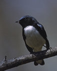 A Black-throated Blue Warbler perches on a branch.  718-38 drive 2