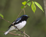 A Black-throated Blue Warbler perches on a branch.  2622-15 drive 2