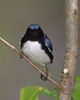 A Black-throated Blue Warbler perches on a branch.  2622-16 drive 2