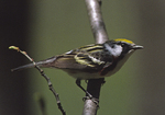 A Chestnut-sided Warbler perches on a branch.  719-37 drive 2