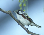 A Chestnut-sided Warbler perches on a branch.  1625-21 drive 2