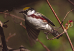 A Chestnut-sided Warbler flits to another branch.  1626-27 drive 2