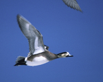 An American Wigeon flies over.  1564-38
