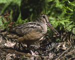 A Woodcock walks on the forest floor.  351-27 drive 2