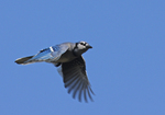 A Blue Jay flies by.  5698 drive 6