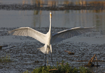 A Great Egret lands in a marsh.  5318 drive 6