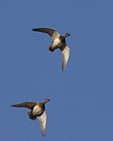 A pair of Gadwalls come flying over.  6356 drive 6