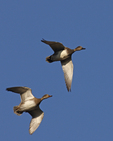A pair of Gadwalls come flying over.  6357 drive 6