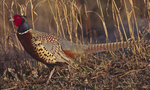 A Ring-necked Pheasant walks along.  2886-7 drive 2