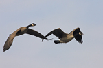 A pair of Canada Geese fly by.  6795 drive 6