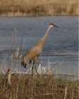 A Sandhill Crane rests while another looks for food.  6802 drive 6