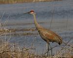 A Sandhill Crane stands on shore.  6810 drive 6