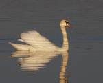 A Mute Swan floats along on a pond.  6812 drive 6