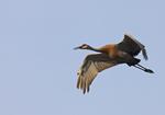 A Sandhill Crane flies over.  6827 drive 6