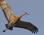 A Sandhill Crane flies over.  6829 drive 6