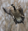 A Canada Goose flies up.  6849 drive 6