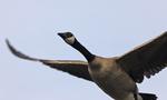 A Canada Goose flies up.  6851 drive 6