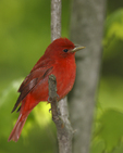 A Summer Tanager perches in the woods.  8099 drive 6