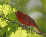 A Summer Tanager perches in the woods.  8102 drive 6