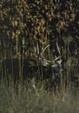 A White-tailed Deer buck moves through oak savanna.  1546-9 drive 1