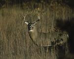 A White-tailed Deer buck stands in oak savanna.  1546-26 drive 1