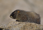 A Yellow-bellied Marmot sits on a rock.  2399-7 drive 1