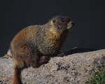 A Yellow-bellied Marmot sits on a rock.  2399-8 drive 1