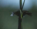 A Yellow-headed Blackbird perches on a cattail.  1159-37