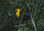 A Yellow-headed Blackbird perches in the cattails.  1160-3 drive 1