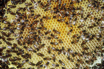 Honey bee hive and comb