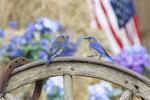 Eastern bluebirds on wagon whee