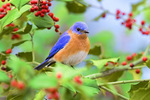 Eastern bluebird in holly
