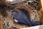 eastern bluebird - female sits on eggs