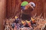Eastern bluebird in nest