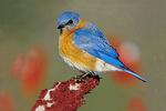 Eastern bluebird in sumac in winter