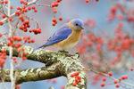 Eastern bluebird amid hawthorn berries