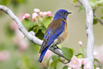 Bleubird, western - on flowered branch