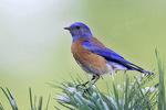 Bleubird, western - on pine with snow