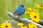 Indigo bunting by black-eyed susans