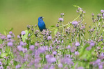 indigo bunting in knapweed