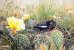lark bunting at nest