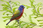 painted bunting male on cypress