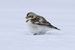 Snow bunting in snow