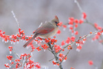 Cardinal - female in icy berries