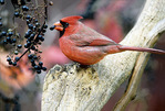 Cardinal - by wld grape